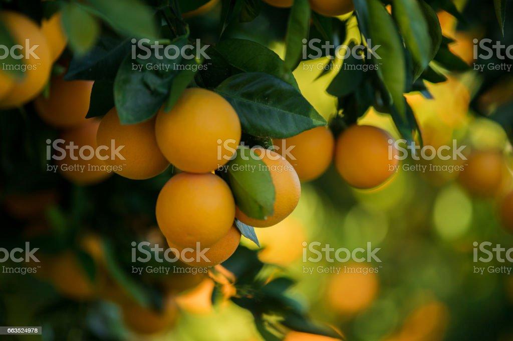 Organic oranges, on homegrown orange tree - foto stock