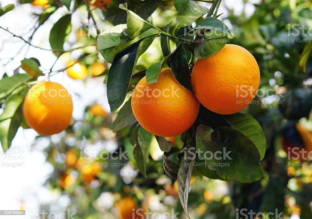 Organic oranges on the orange tree stock photo