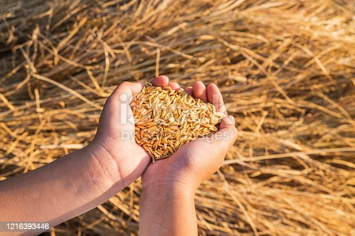 Organic paddy in the hand