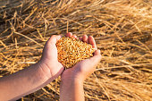 istock Organic paddy in the hand 1216393446