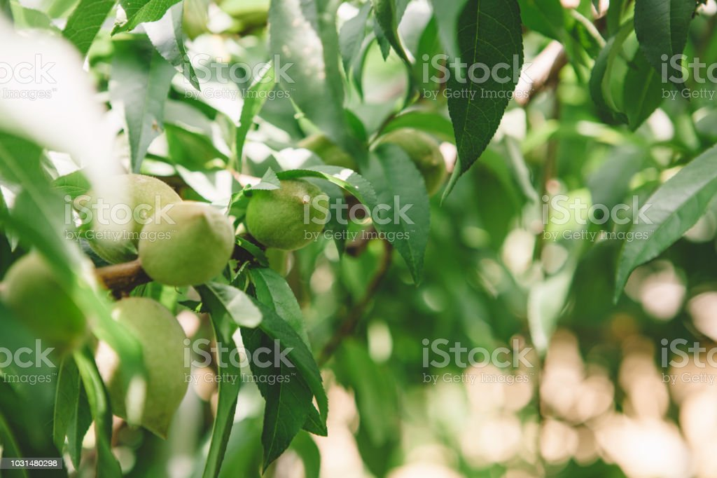 organic peaches stock photo