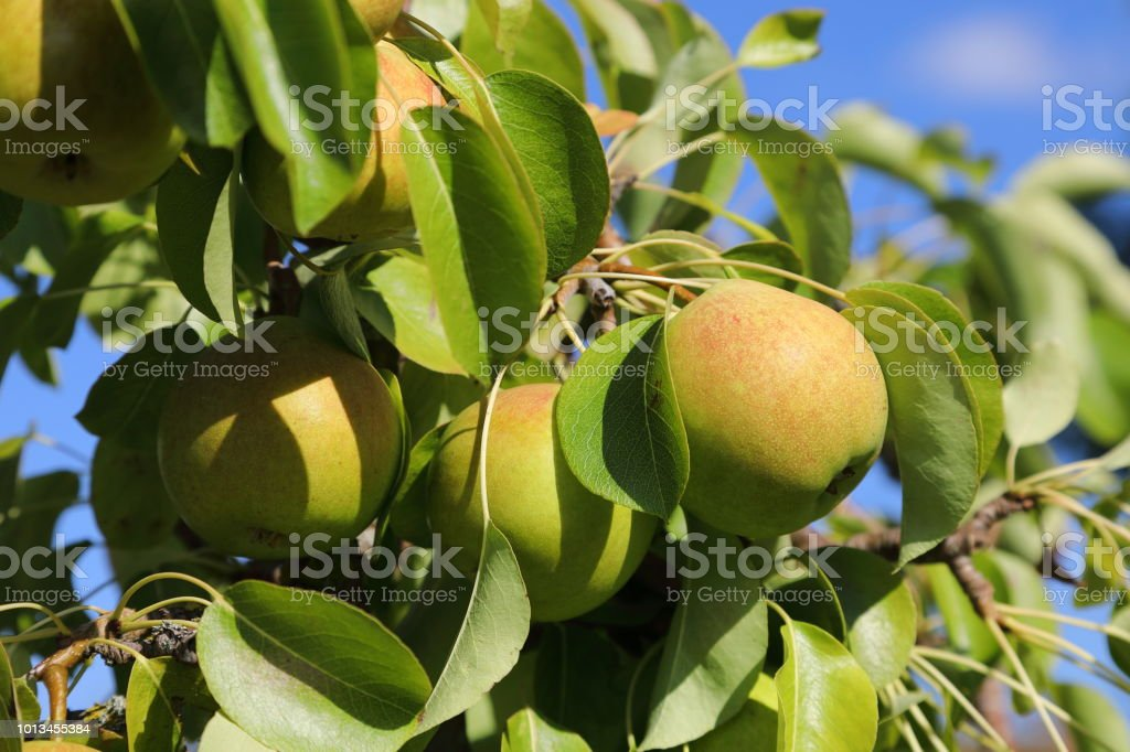 Organic pear on tree stock photo