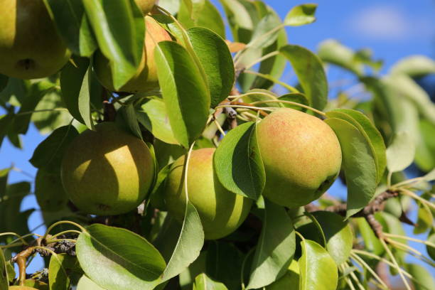 organic pear on tree - pejft stock photos and pictures