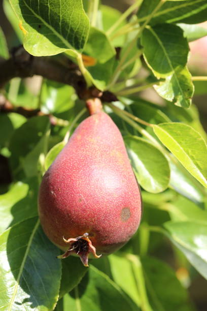 Organic pear on tree Organic pear on tree pejft stock pictures, royalty-free photos & images