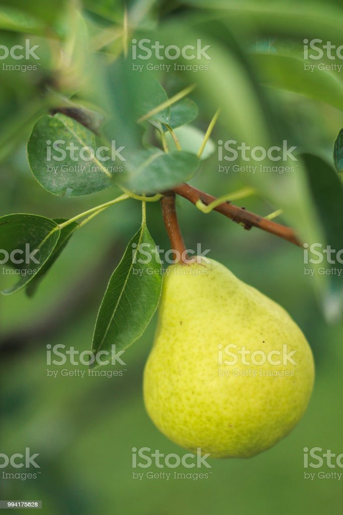 Organic pear stock photo