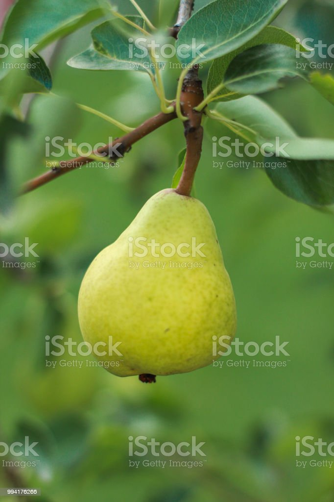 Organic pear royalty-free stock photo