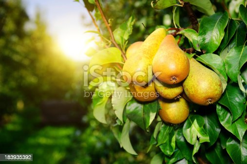 istock Organic pears on a tree branch in the sun 183935392