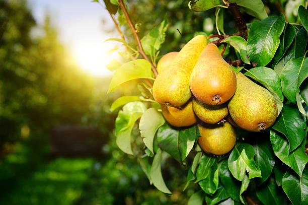 organic pears su un ramo della struttura ad albero sotto il sole - pera foto e immagini stock