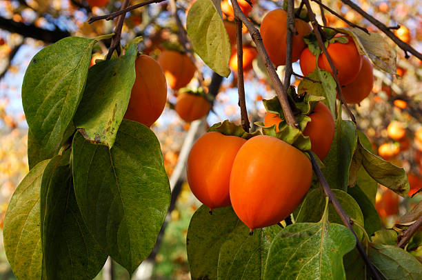 bio-kaki obst auf tree branch - sharonfrucht stock-fotos und bilder