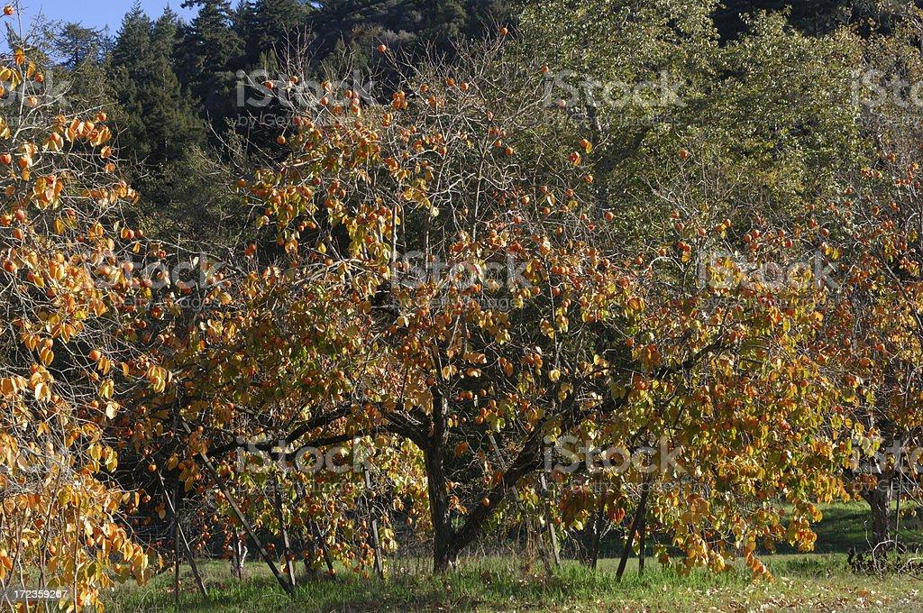 Persimón orgánicos huerta foto de stock libre de derechos