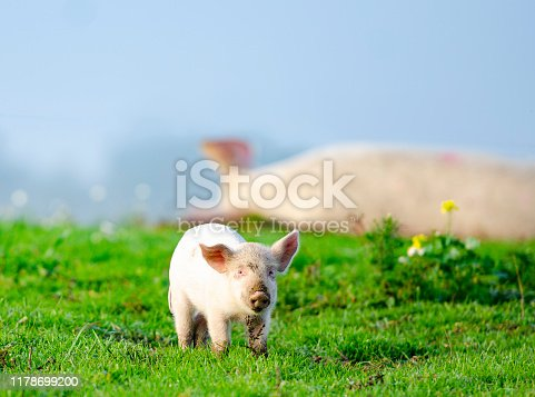 Organic piglet is standing in front of the sleeping mother