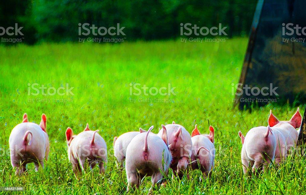 Organic Piglets running stock photo