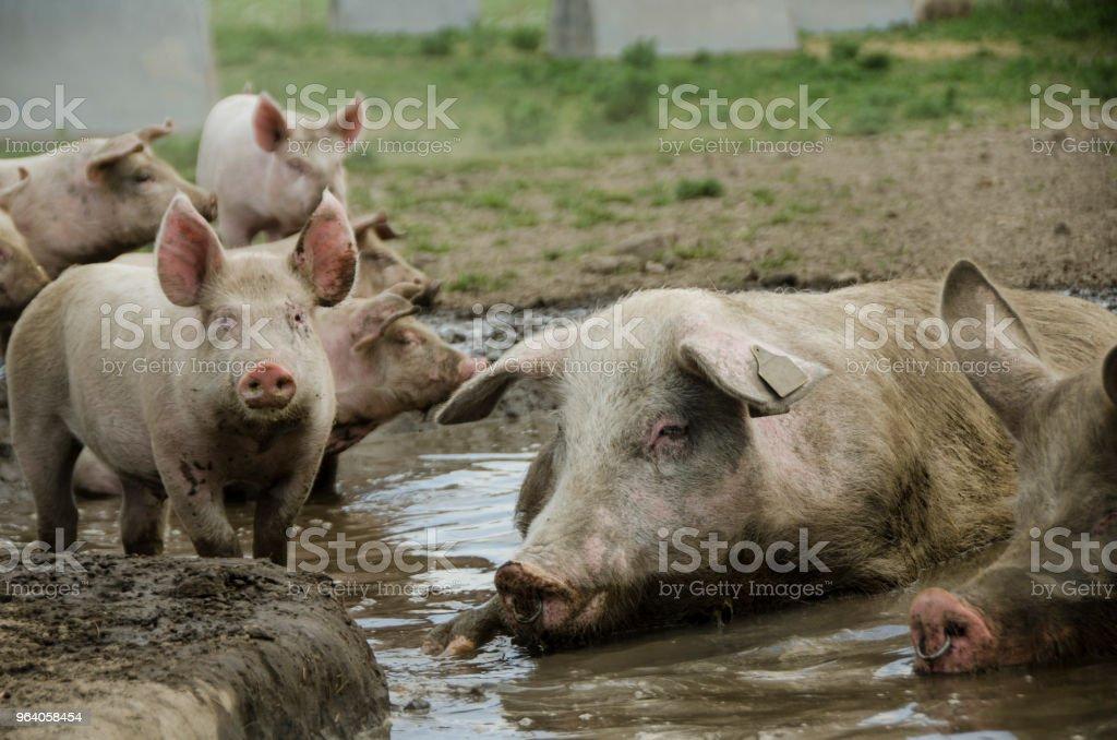 有機豚は、泥風呂と一緒にカメラの前でポーズを取る。 - オーガニックのロイヤリティフリーストックフォト