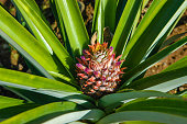 Organic pineapple plant and fruit