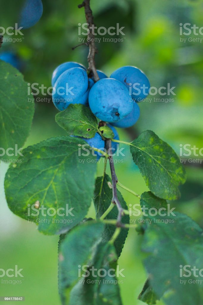 Organic plum stock photo