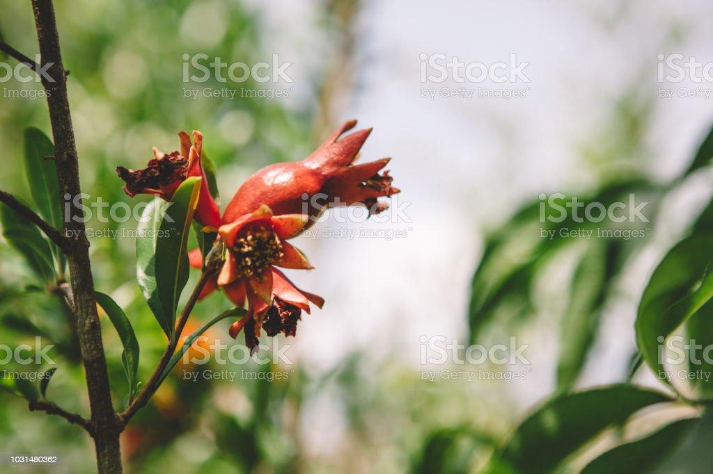 organic pomegranate royalty-free stock photo