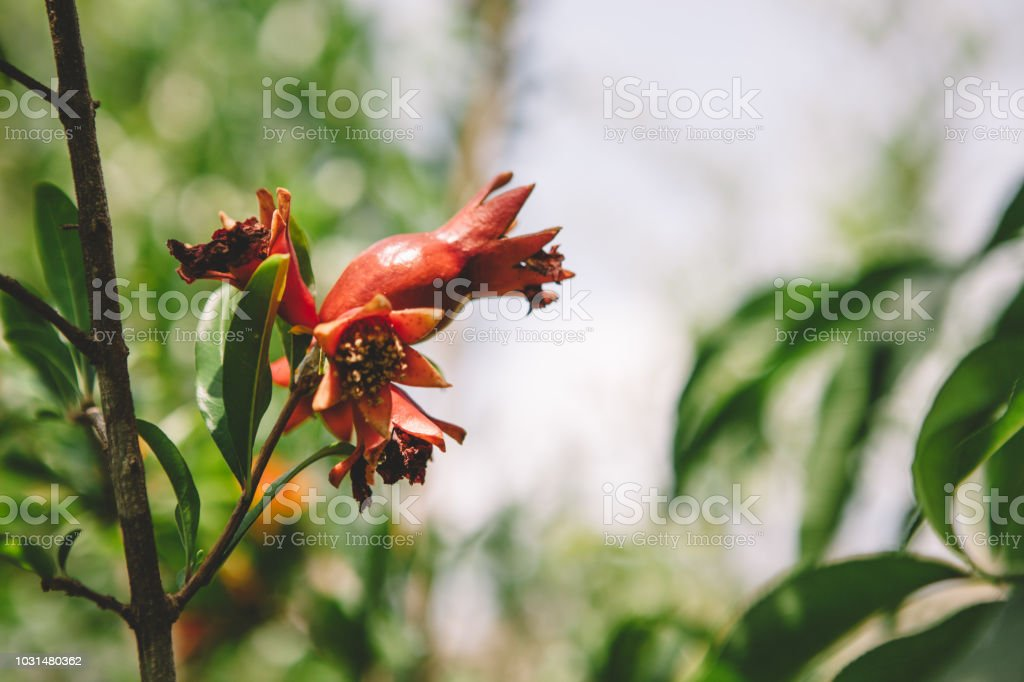organic pomegranate stock photo