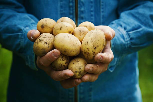 organic potatoes or spud harvest in farmer hands in garden - warzywo korzeniowe zdjęcia i obrazy z banku zdjęć