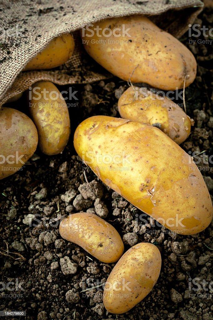 Organic Potatoes royalty-free stock photo