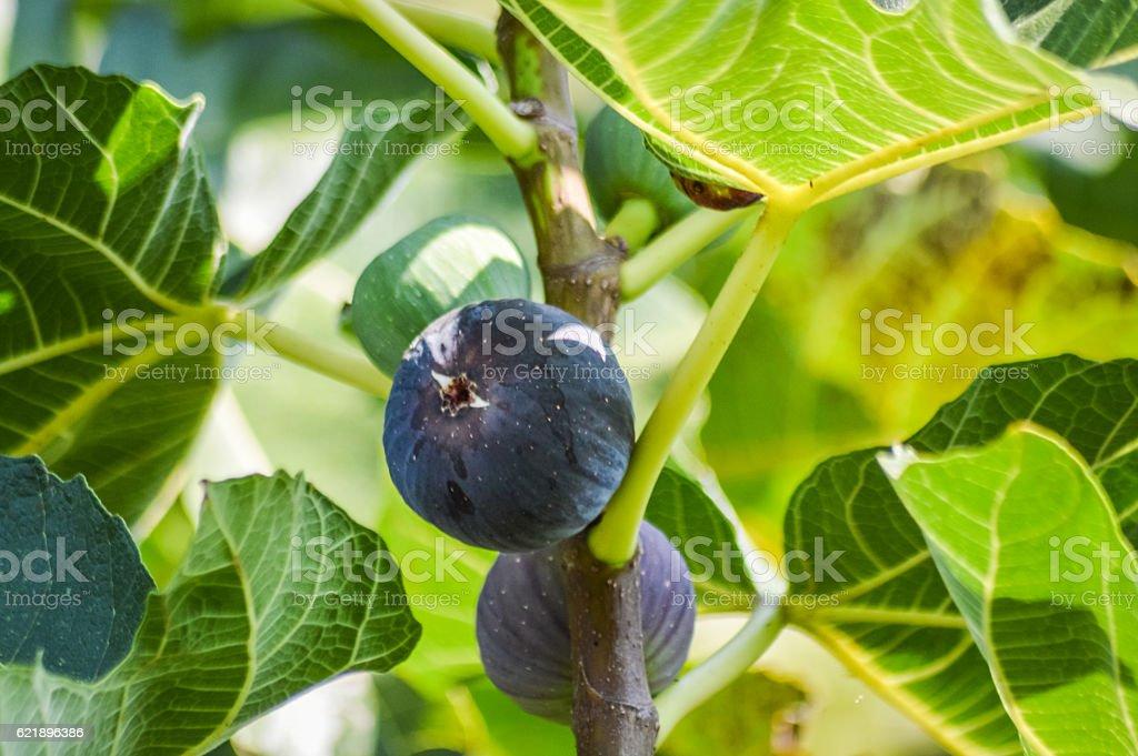 organic purple fig fruits on a twig stock photo