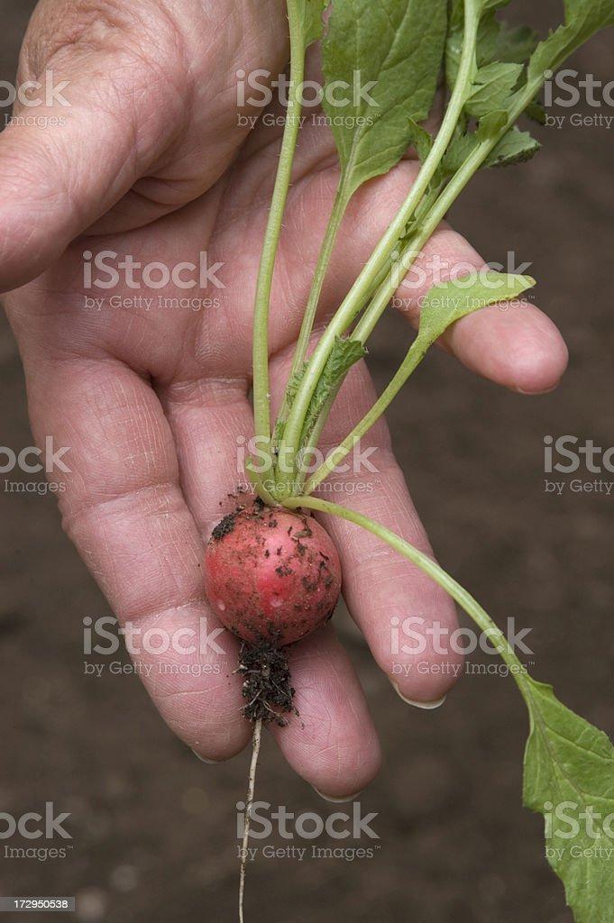 Organic Radish royalty-free stock photo