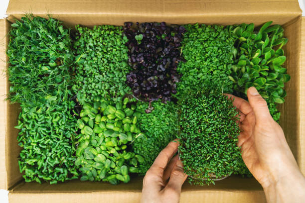 organic raw food - woman take a microgreens container out of cardboard box stock photo