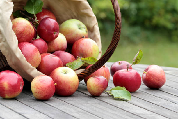 organic red apples in a basket on the old table - picking fruit imagens e fotografias de stock
