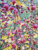 Organic red apples on branch, fruit on orchard ready for picking
