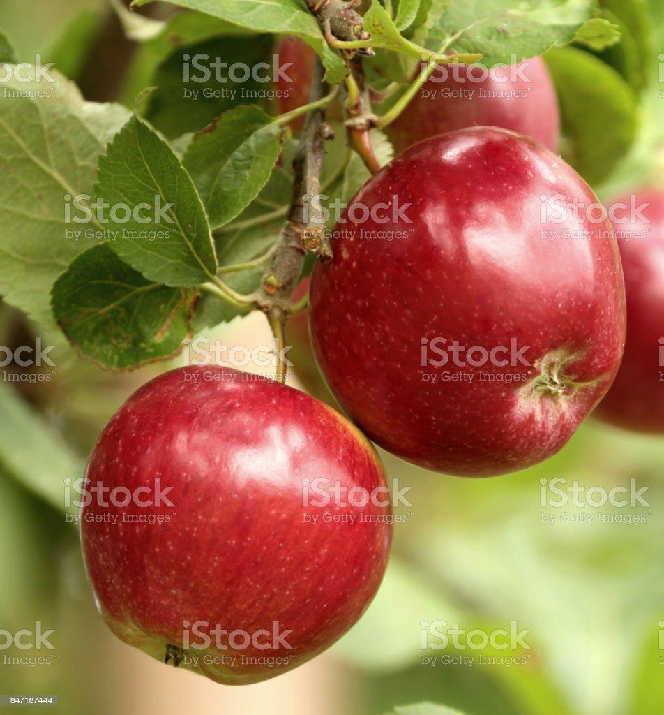 Bio rote Äpfel am Zweig – Foto