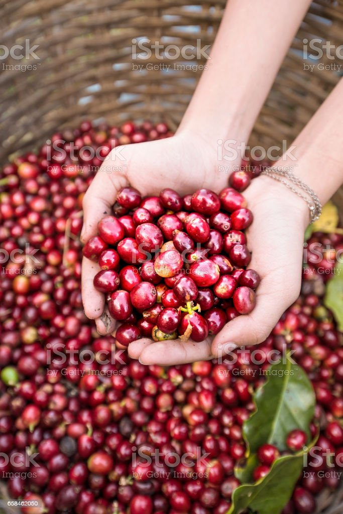 organic red cherries coffee beans in hands stock photo