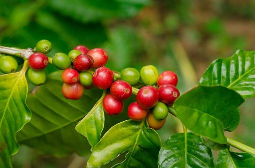 Organic red coffee cherries, raw coffee bean on coffee tree plantation