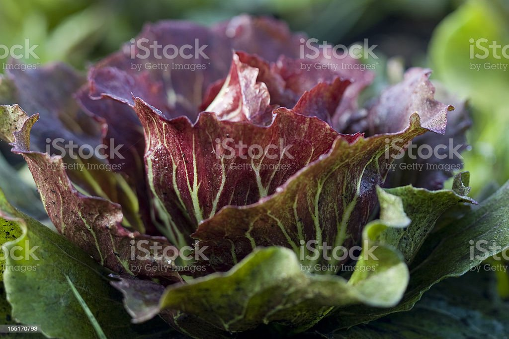 Organic Red Leaf Lettuce stock photo