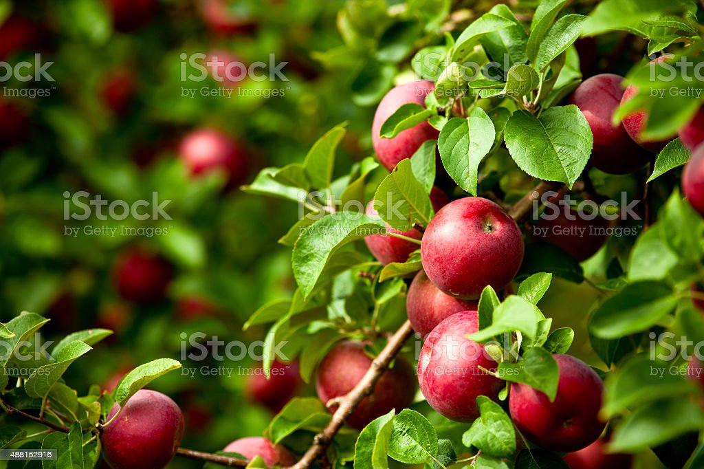 Organic red ripe apples on the orchard tree with leaves