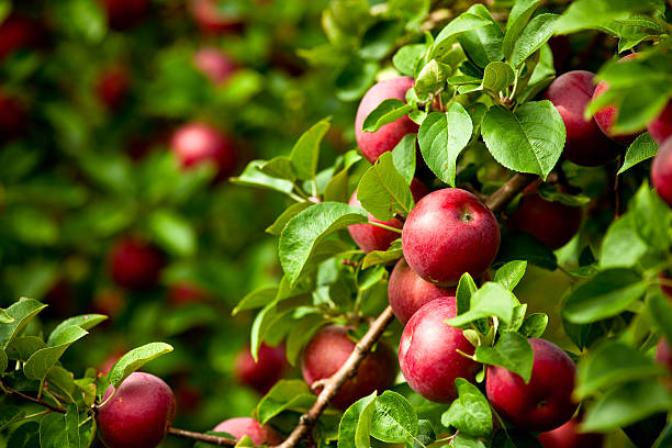 organic red ripe apples on the orchard tree with leaves - fruitboom stockfoto's en -beelden