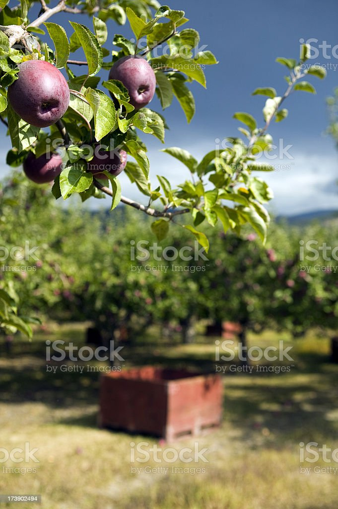 organic red spartan apple container bins harvest royalty-free stock photo