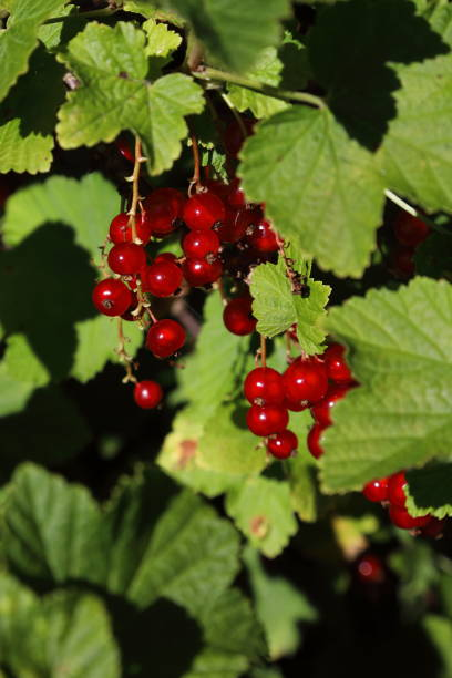 organic redcurrants ready to be picked - pejft stock photos and pictures