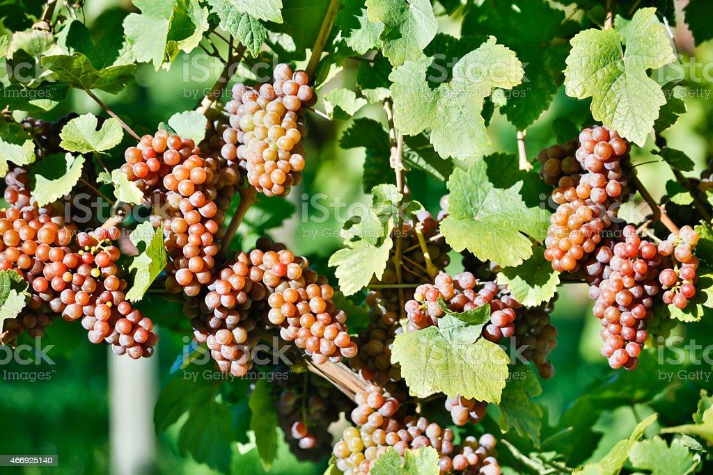 Organic Ripe Pinot Gris Grapes stock photo