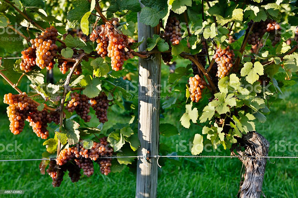 Organic Ripe Pinot Gris Grapes stock photo