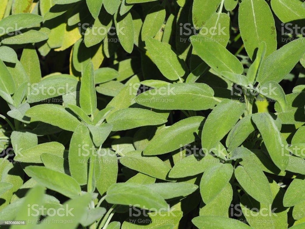 Organic Sage Plants Close Up Stock Photo - Download Image