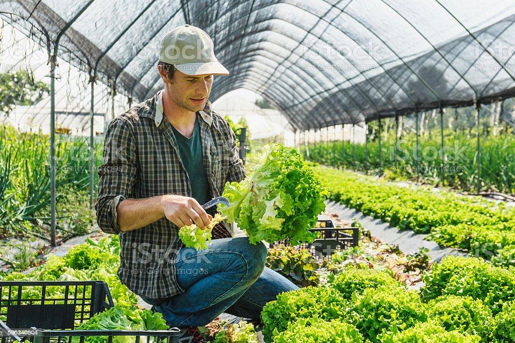 Organic Salad greenhouse harvesting Lizenzfreies stock-foto