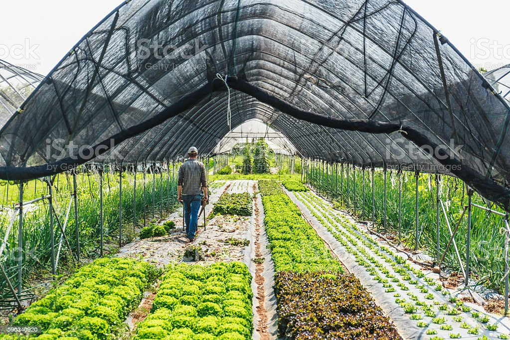 Organic Salad greenhouse harvesting royalty-free stock photo