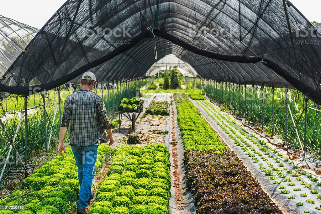 Organic Salad greenhouse harvesting stock photo