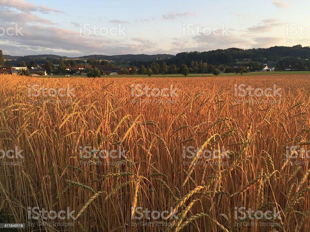 Organic spelt field at sunset stock photo