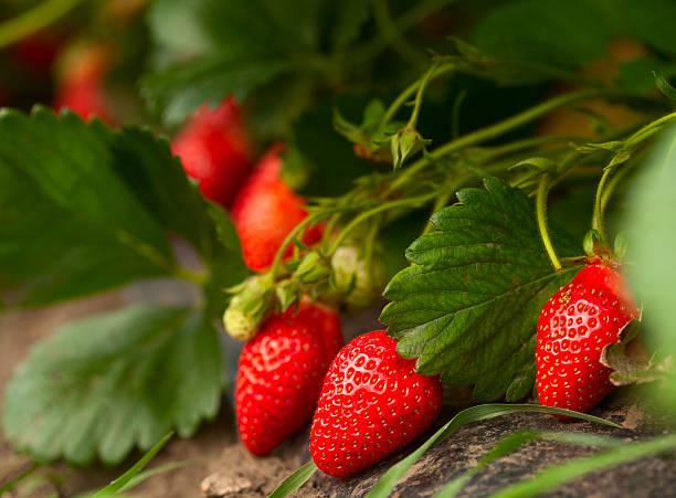 Frische Bio-Erdbeere – Foto