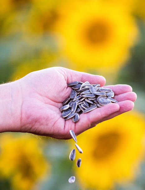 Organic Sunflower Seeds stock photo