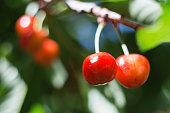 Organic sweet cherry ripening on cherry tree close up, sunny day. natural sunny seasonal background. Macro photography
