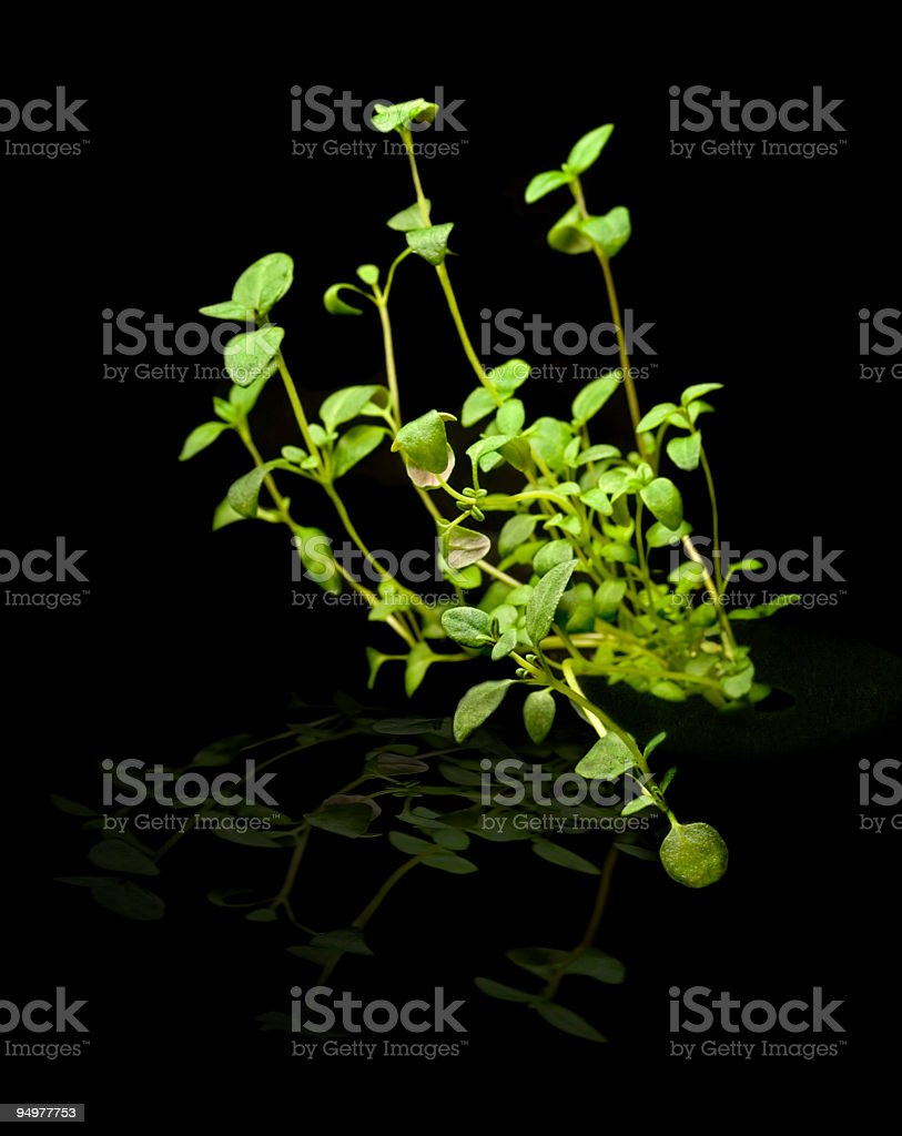 Organic Thyme Isolated royalty-free stock photo