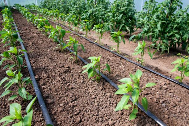 Bio-Tomaten- und Pfefferpflanzen in einem Gewächshaus und Tropfbewässerungssystem - selektiver Fokus – Foto