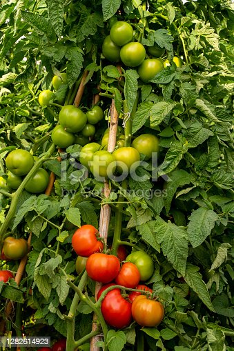 Organic tomatoes growing in a greenhouse or tomato field