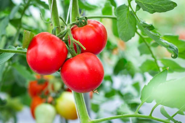 Organic tomatoes in farm stock photo